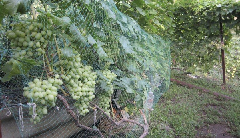 Защитная сетка для винограда