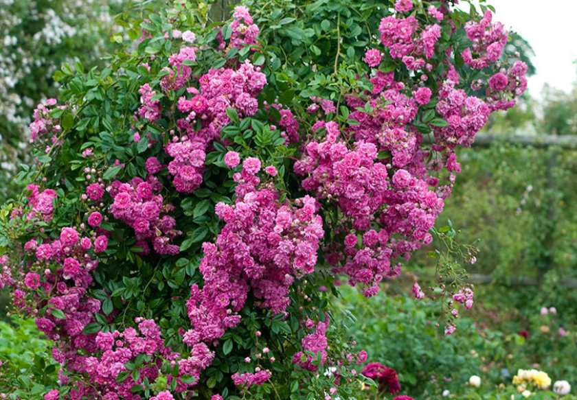 Плетистая роза сорта дороти