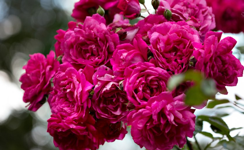 Плетистая роза сорта лагуна