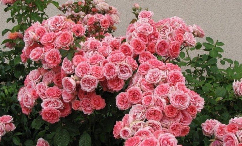 Плетистая роза флорибунда