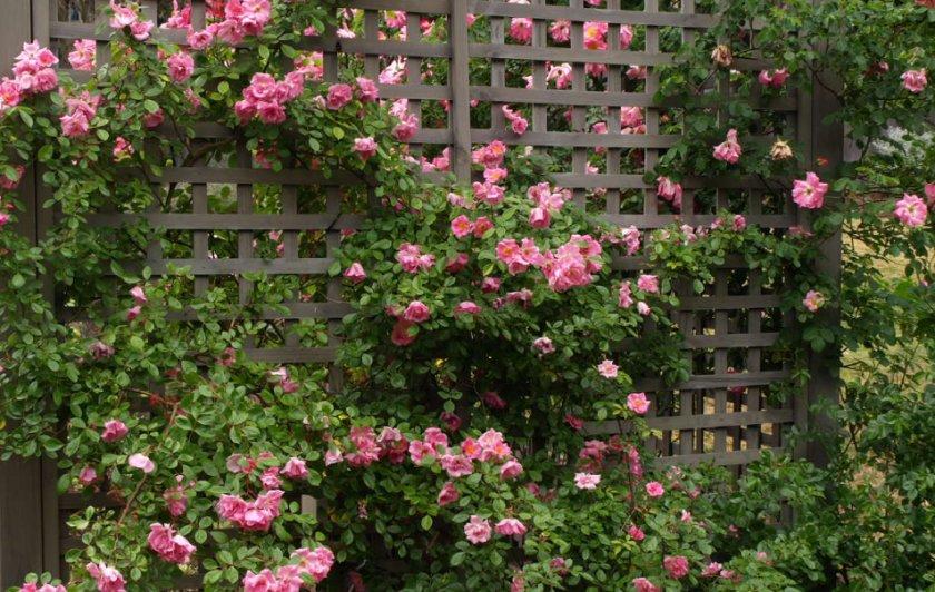 Плетистая роза с малогибкими стеблями
