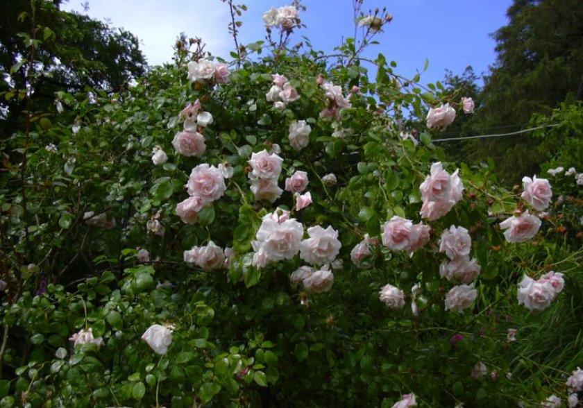 Плетистая роза вихура
