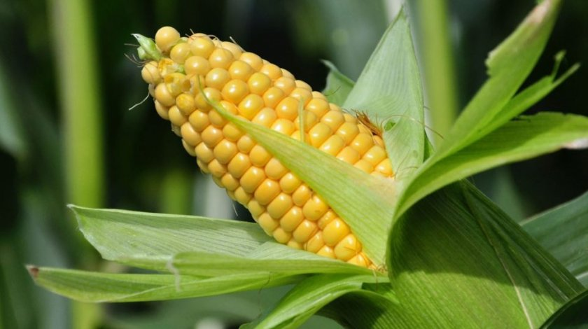 Профилактика кукурузных заболеваний