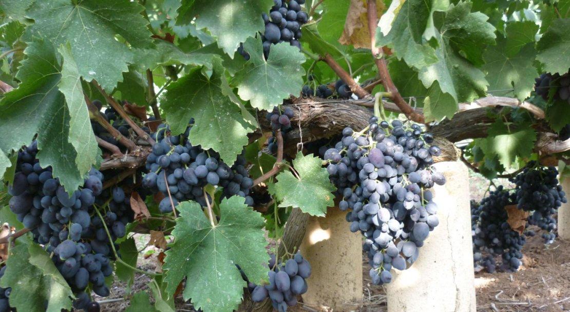 виноград руслан описание сорта фото такі