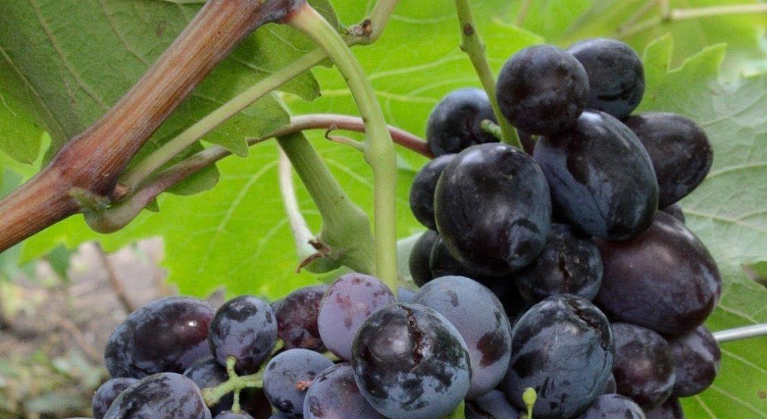 разберем примере, виноград фуршетный описание сорта фото проклятии фараона заговорили