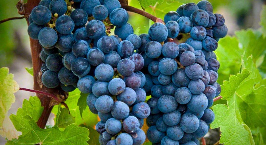 Виноград Каберне Совиньон: описание сорта, характеристика, выращивание и отзывы