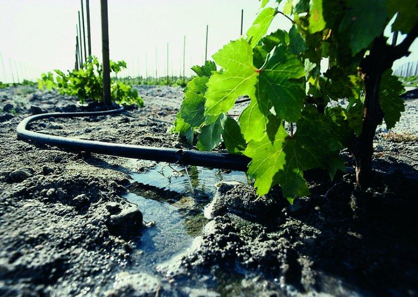 Полив кустов винограда