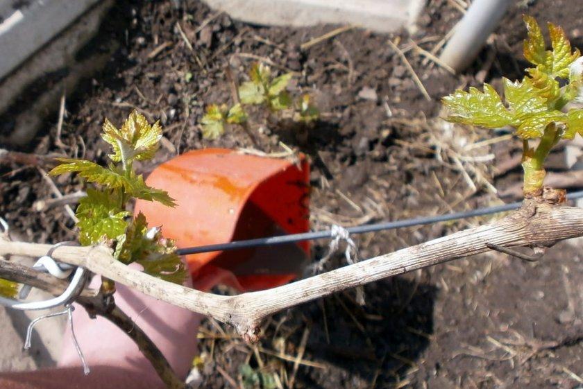 Удобрения винограда