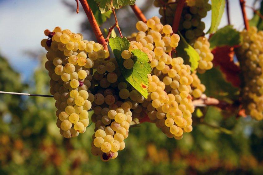 Польза и противопоказания винограда шардоне