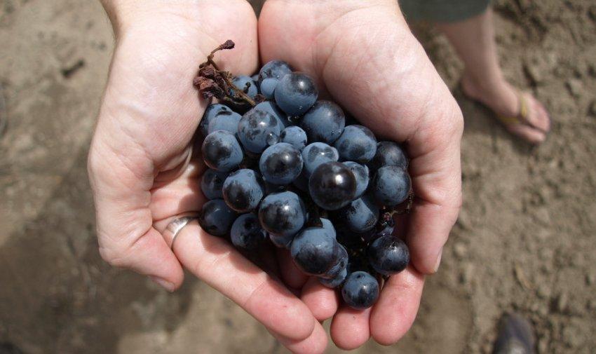 Виноград сорта каберне совиньон