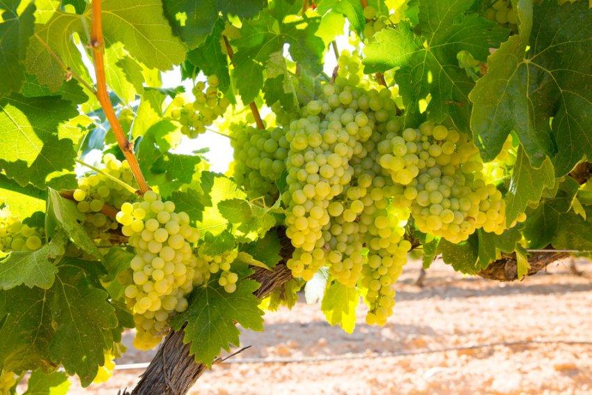 Куст винограда шардоне