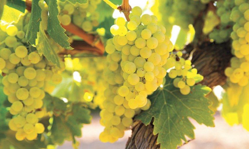 Достоинства и недостатки винограда шардоне