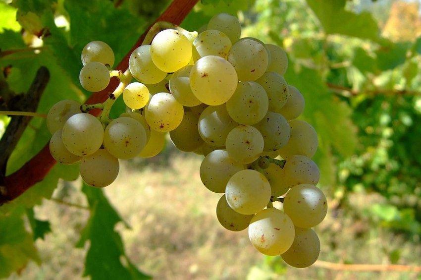 Сроки созревания винограда шардоне