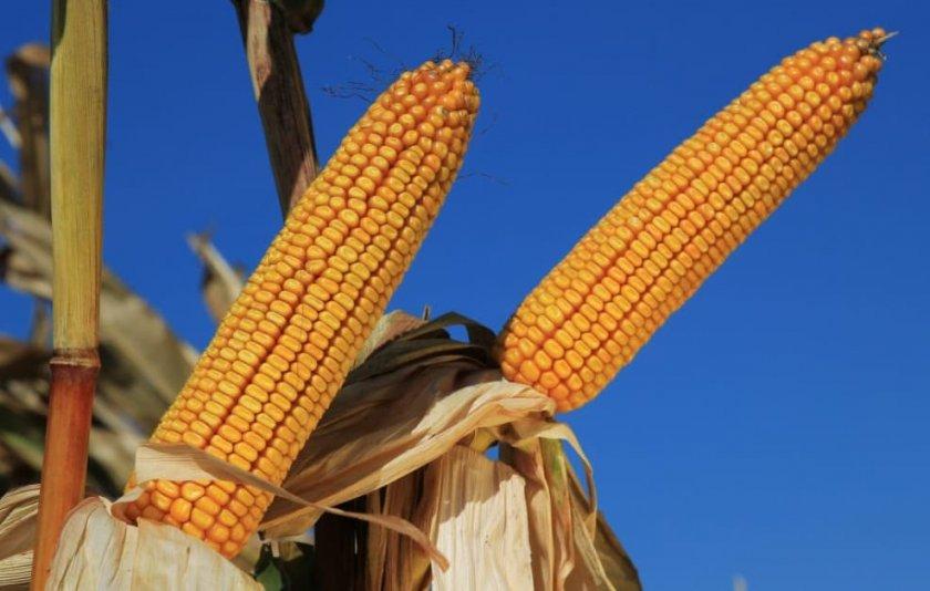 Кукуруза сорта карифолс