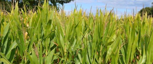 Правильная технология возделывания кукурузы на силос - Общая информация