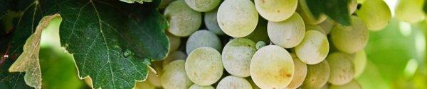 Методы борьбы с мильдью на винограде