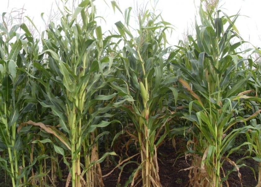 Посадка кукурузы на силос