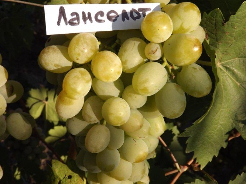 Ягоды винограда ланселот
