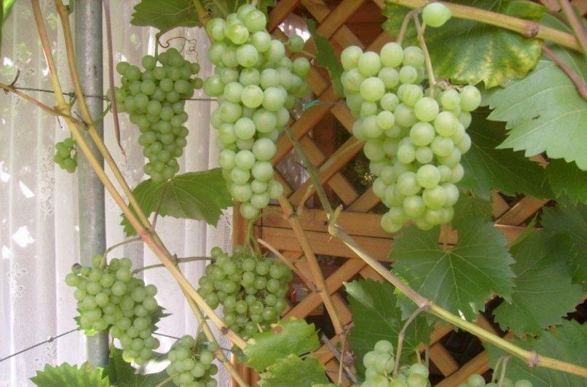 Виноград на подоконнике