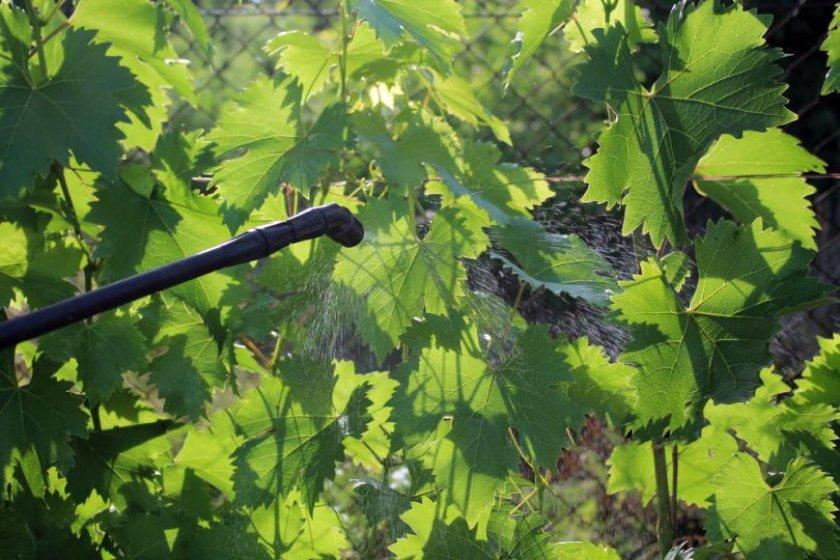 Профилактическая обработка винограда