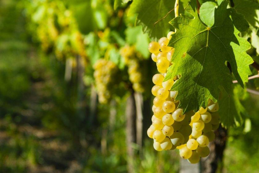 Сорт винограда золотинка
