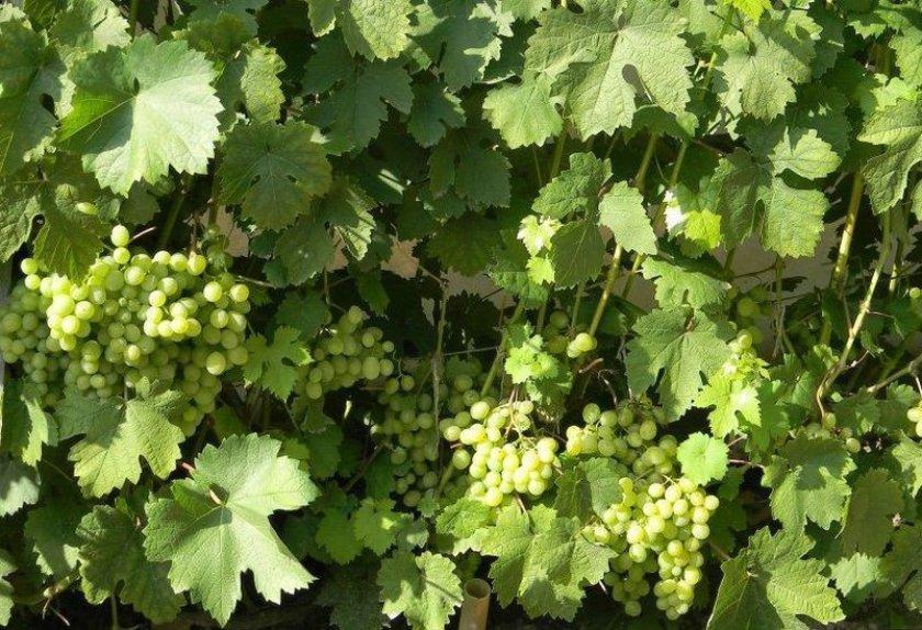 Кусты винограда галбена ноу