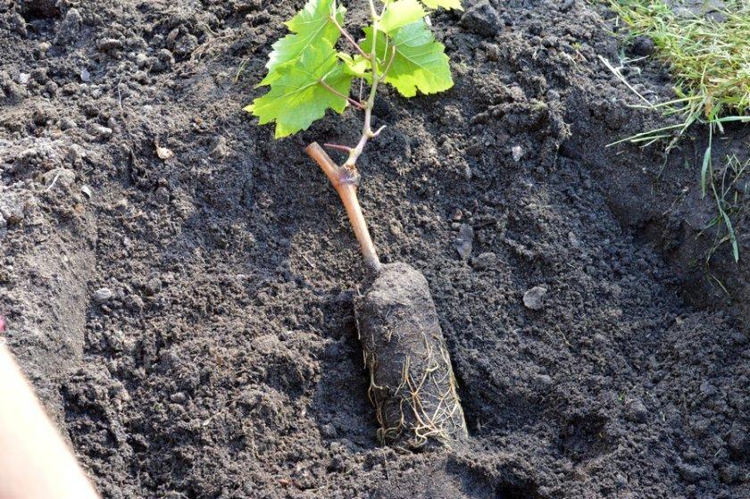 Особенности посадки винограда золотинка