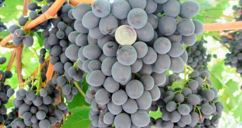 Виноград сорта кубань