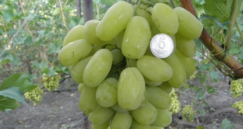 Виноград сорта сицилия