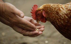 Почему куры перестали нести яйца весной — обзор причин и что делать?