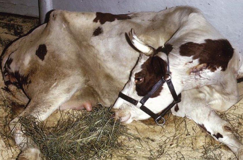 Пастереллёз крупного рогатого скота