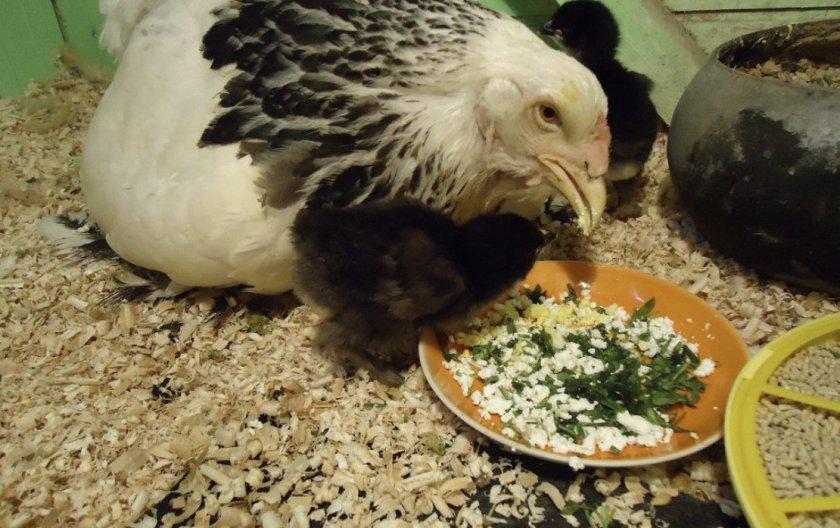 Курица с цыпленком