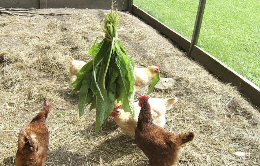 Зелень для кур