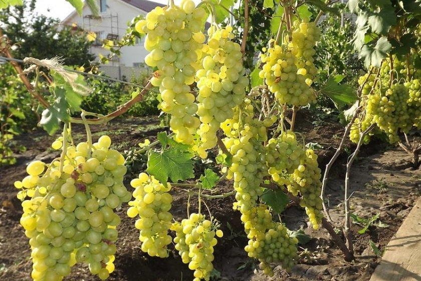 отличие виноград феномен описание сорта фото или неаккуратные действия