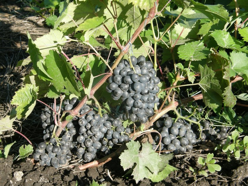 Морозостойкость винограда красень