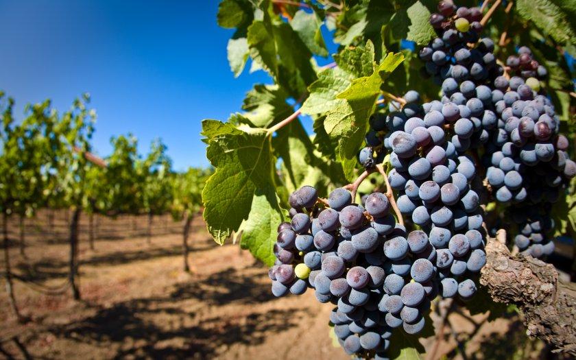 Выращивание и уход за виноградом красень