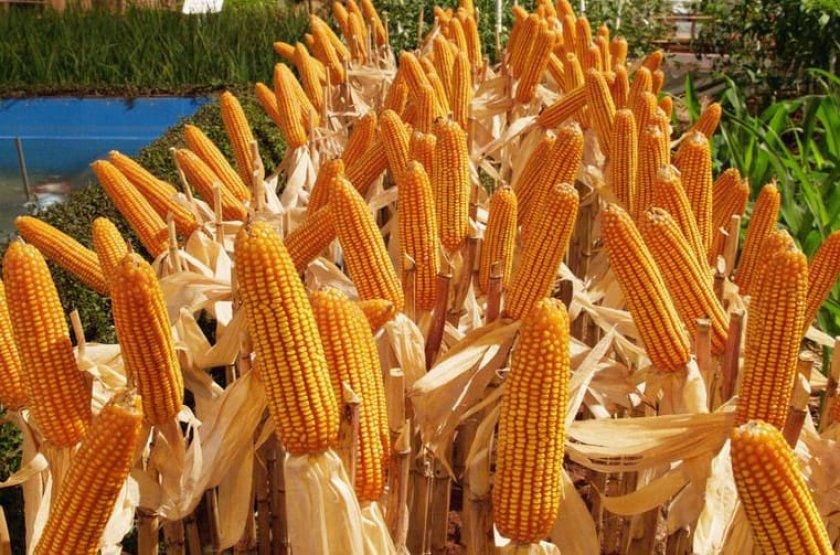 Сбор урожая кукурузы