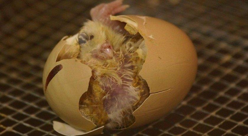 Вылупление птенцов
