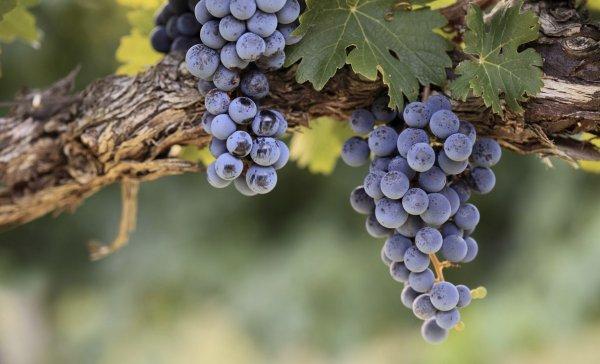Виноград изабелла какой вкус