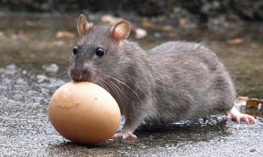 Крыса ворует куриное яйцо
