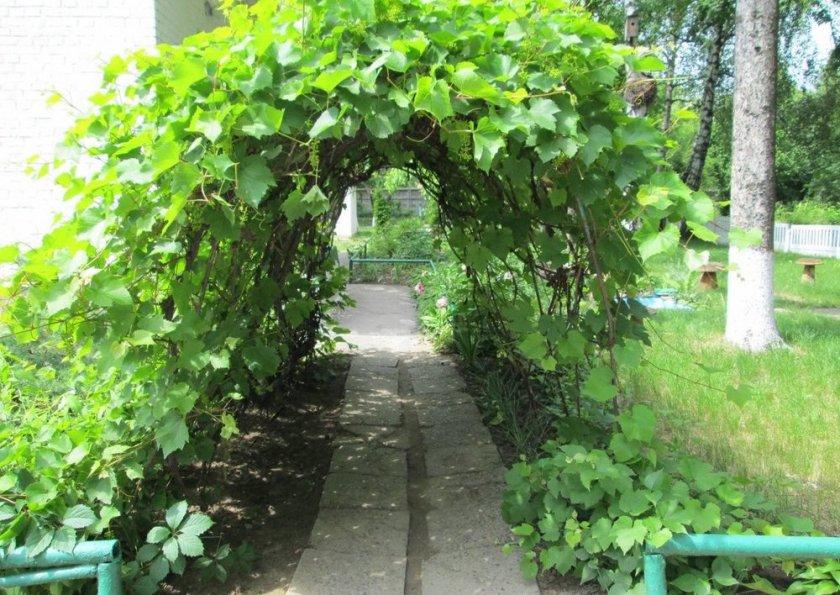 Назначение винограда сорта арочный