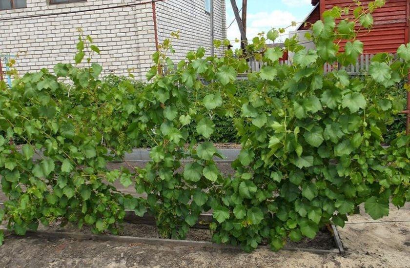 Выбор участка для винограда