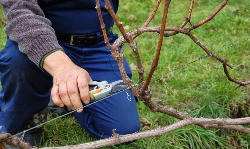Обрезка арочного винограда