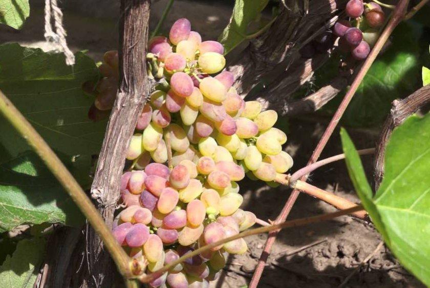 Выбор места для посадки арочного винограда