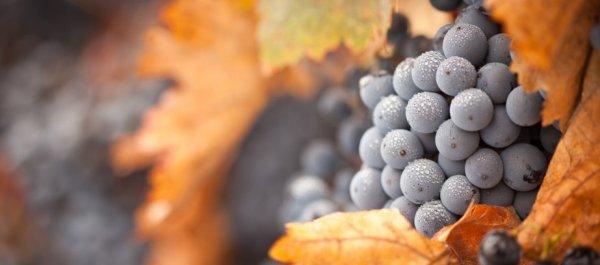 Девичий виноград уход осенью подготовка к зиме