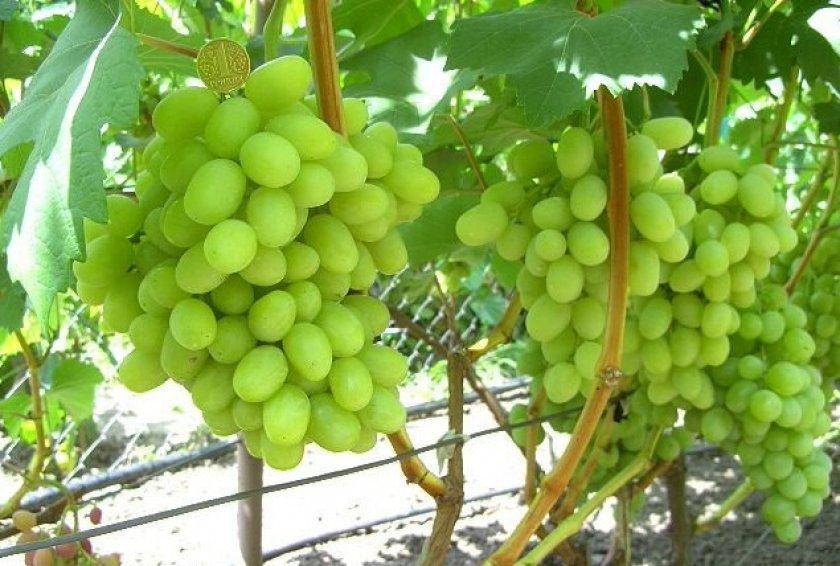 Винограад сорта ландыш