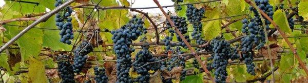 Как лечить хлороз на винограде железным купоросом что делать и как обработать
