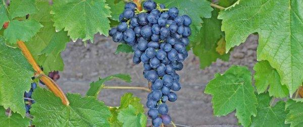 Вино из юпитера