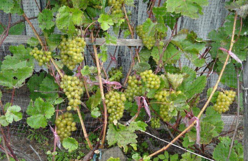 Защита винограда кристалл от вредителей