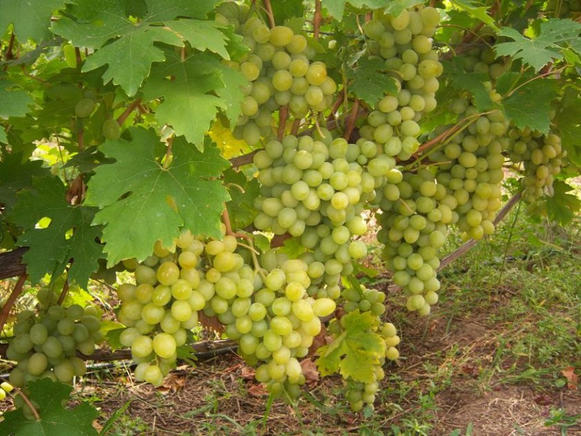 Достоинства и недостатки винограда кристалл
